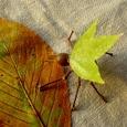 木の葉バッタ