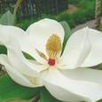 タイサンボク(モクレン科)